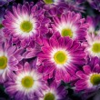 Stock Photo: Aster amellus