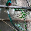 Quetzal — Stock Photo #34386911