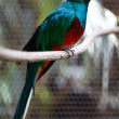 Quetzal — Stock Photo #34387883
