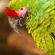 Stock Photo: Military Macaw