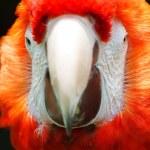 Scarlet Macaw — Stock Photo #34388199