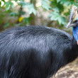 Cassowary — Stock Photo