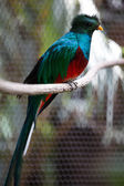Quetzal — Stock Photo