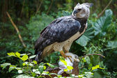 Harpy Eagle — Stock Photo