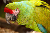 Military Macaw — Stock Photo