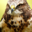 Swainson's Hawk — Stock Photo