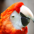 Scarlet Macaw — Photo