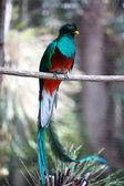 Quetzal — Stock Photo