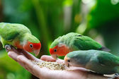 Lovebird Agapornis — Stock Photo