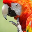 Scarlet Macaw — Stock Photo #34421207
