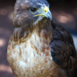 Постер, плакат: Red tailed Hawk
