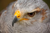 Grey Hawk — Stock Photo