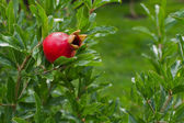 Branch with red pomegranate and green background — Stock Photo