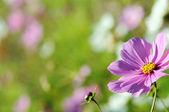 Cosmos flowers — Stock Photo