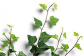 Ivy twigs — Stock Photo