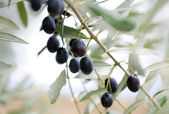 Olive branch — Stock Photo