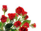 Red roses — Stock fotografie