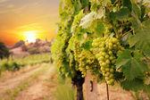 Vineyards — Stock Photo