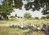 White gooses — Stock Photo
