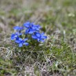 Spring gentian — Stock Photo