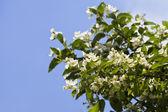 Jasmine flowers — Stock Photo