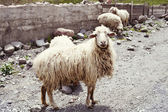 Sheep in the village — Stock Photo