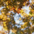 Autumn maple leaves — Stock Photo #28631909