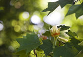 Tulip tree — Stock Photo