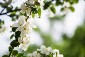 Apple blommor — Stockfoto