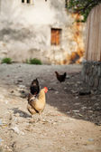 Chickens — Foto Stock