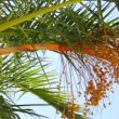 Date palm tree — Stock Video