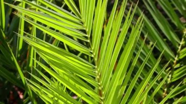 Juicy green palm tree — Stock Video