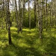 Birch wood — Stock Photo