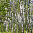 Stock Photo: Birch wood