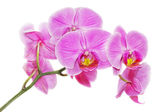 Pink orchid on a white background — Stock Photo