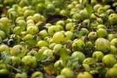 Crop of autumn apples — Stock Photo
