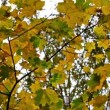 Stock Video: Autumn maple leaves