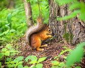 Ormanda sincap — Stok fotoğraf