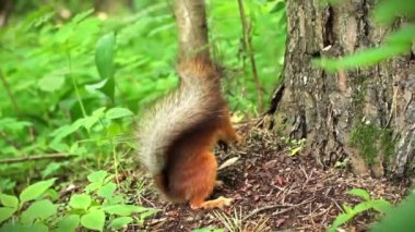Squirrel in the forest — Wideo stockowe