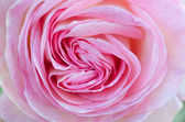 Heart-shaped Pink Rose Close-up Macro — Stock Photo