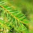 Fir tree branches — Stock Photo #12255265