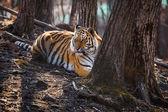老虎躺在树附近 — 图库照片