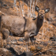 Hornless Reindeer at zoo — Stock Photo
