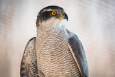 Brown hawk portrait — Stock Photo
