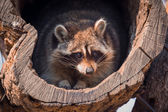 Portrait of raccoon — 图库照片