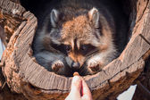 Portrait of raccoon — Photo