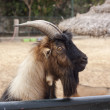 Goat — Stock Photo #30170925