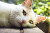 White cat relaxing — Stockfoto