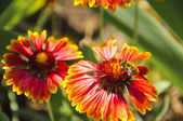 Bi på röd blomma — Stockfoto