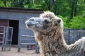 Hungry camel in the zoo — Stock Photo